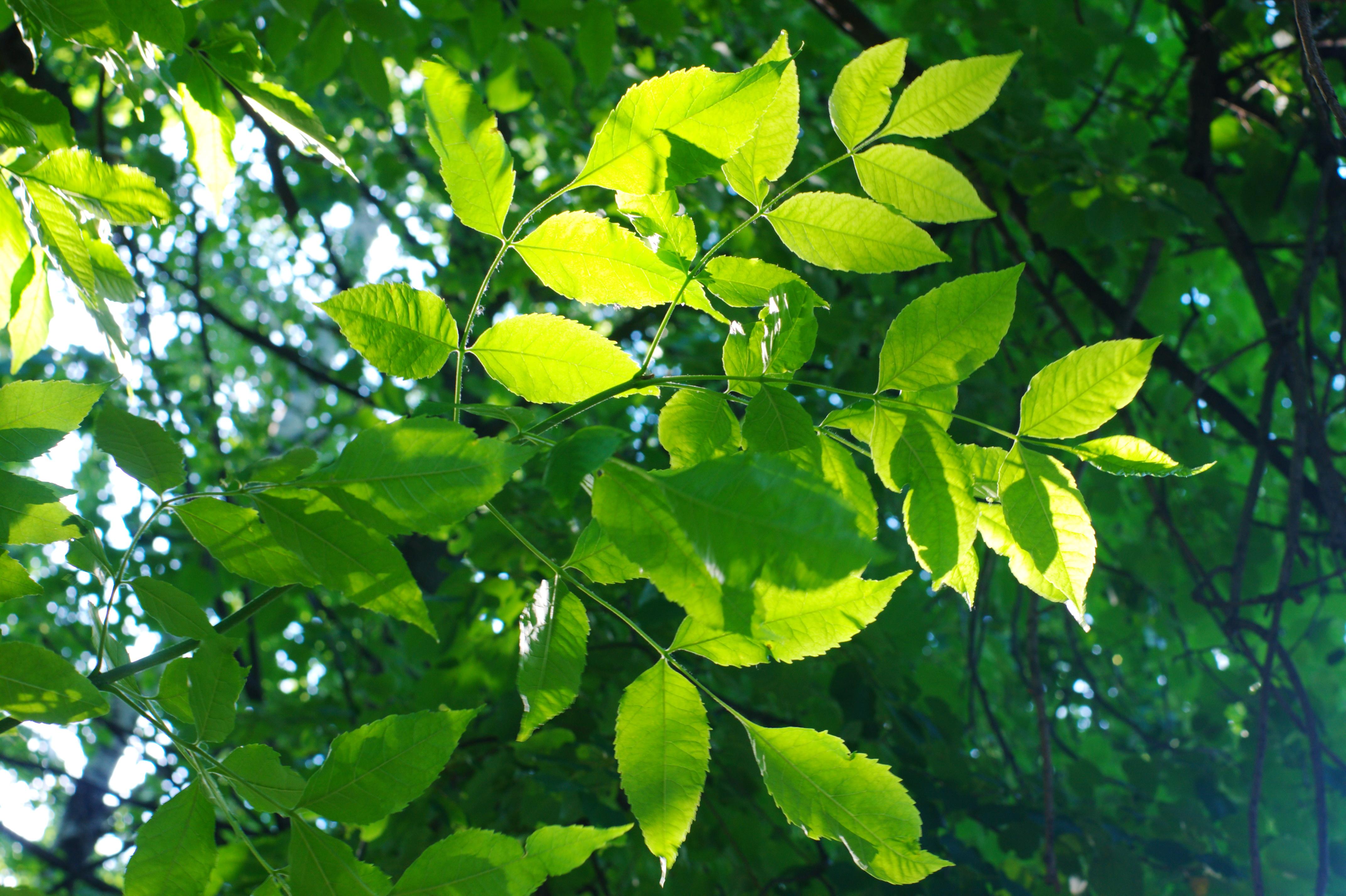 Фото листьев с названиями городских деревьев и кустарников 4