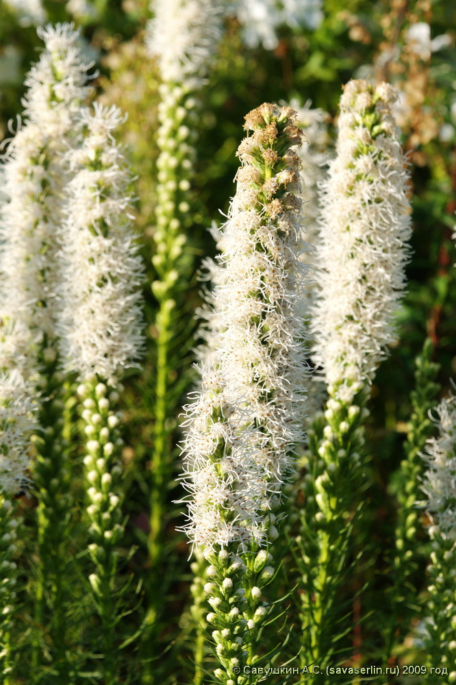 Liatris alba цветок фото